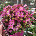 SAXIFRAGA ALPINO EARLY PINK C0,75L