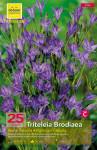 BRODIAEA REINE HARTNCSS X25 6/+