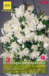 BEGONIA PENDULA BLANC 6/+  X3