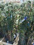 Plantes Grimpants