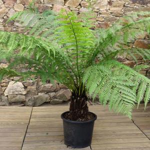Fougère arborescente tronc 20/30 cm C15L
