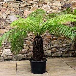Fougère arborescente tronc 40/50 cm C15L